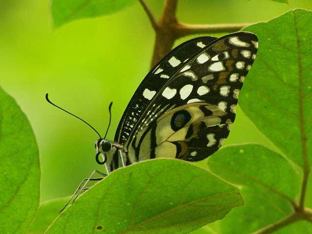 ドイステープで出会った美しい蝶