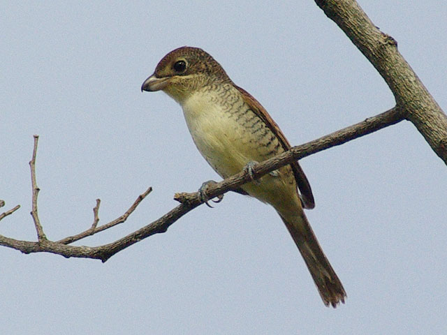 チゴモズ?(Tiger Shrike)