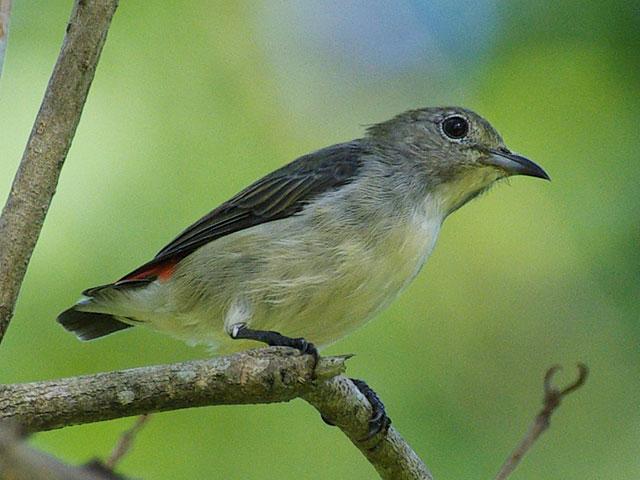 セアカハナドリ(♀)