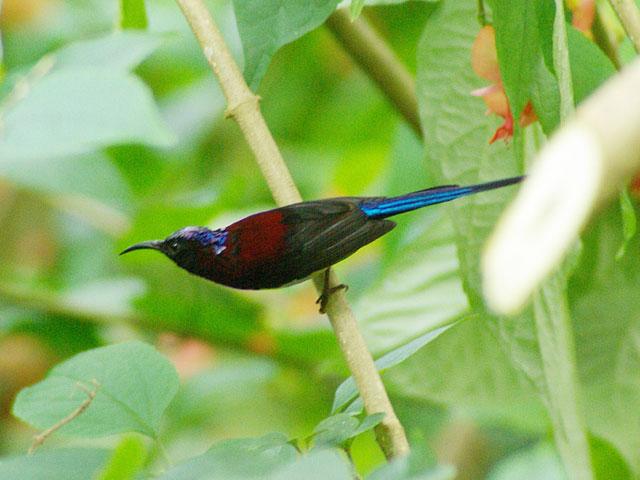 ムナグロタイヨウチョウ♂(Black-throated Sunbird)