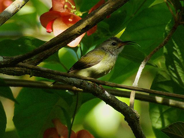 ムナグロタイヨウチョウ(♀)(Black-throated Sunbird)