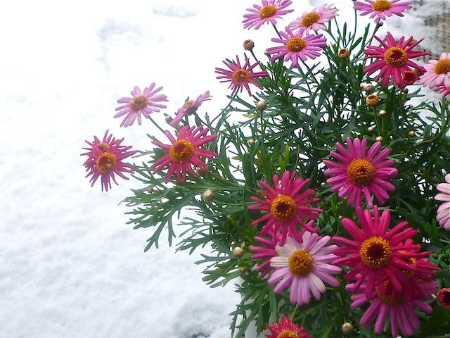 雪とマーガレット