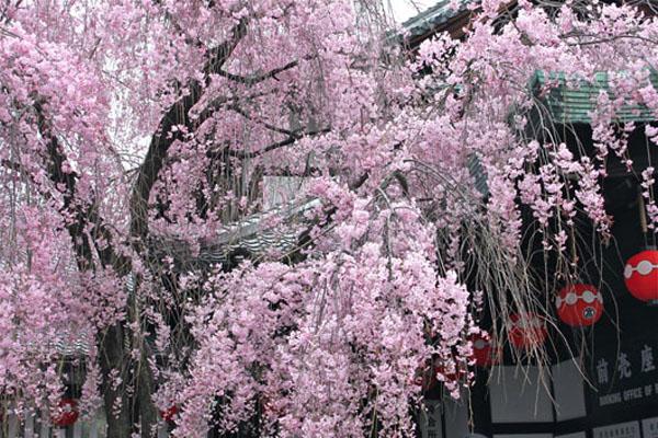 しだれ桜と歌舞練場