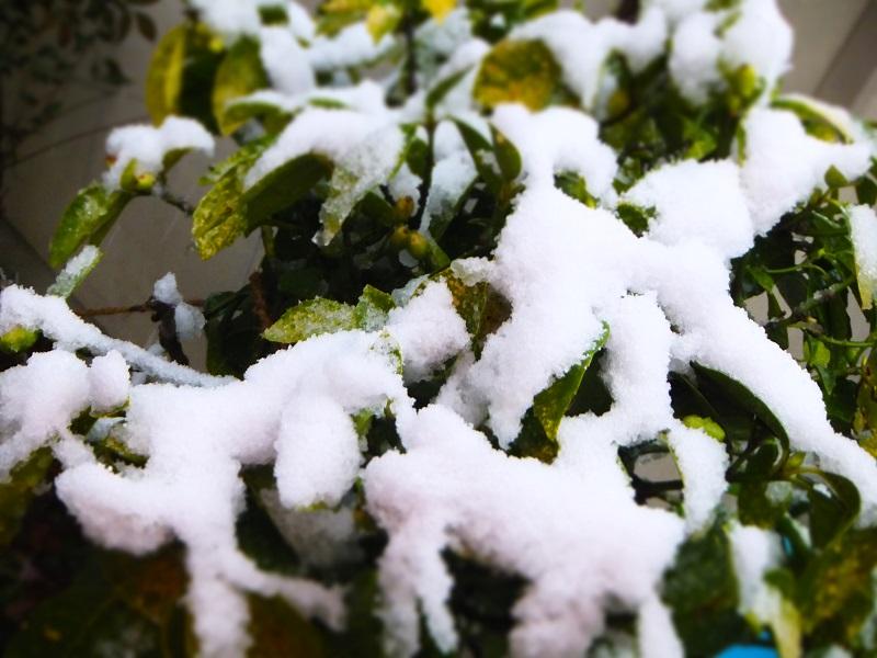 2014初雪 葉っぱ