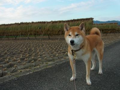 日本犬と和の風景
