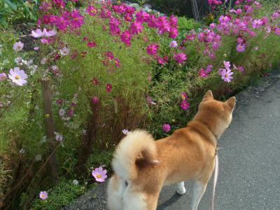 コスモスも花盛り…