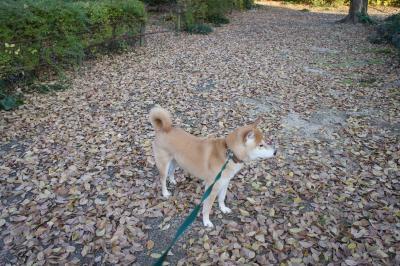 エノキの落ち葉