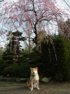 見事な枝垂れ梅