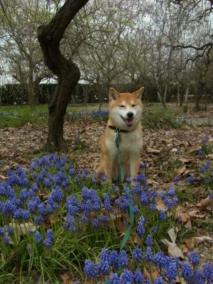 ムスカリの花とともに…