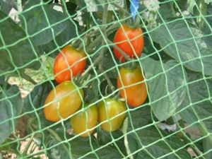 網の中のトマト(300x225)