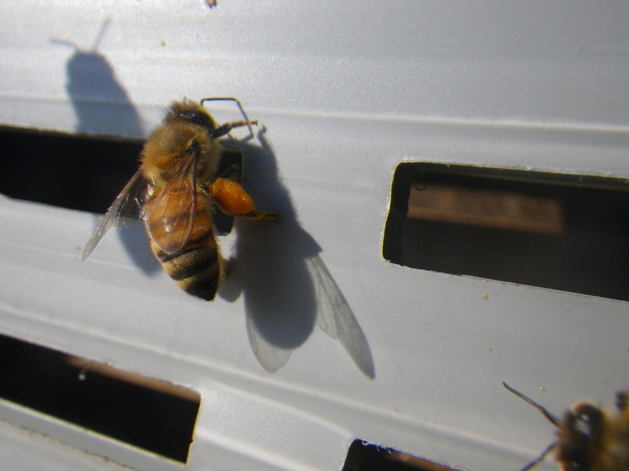 花粉を持ち帰るミツバチ