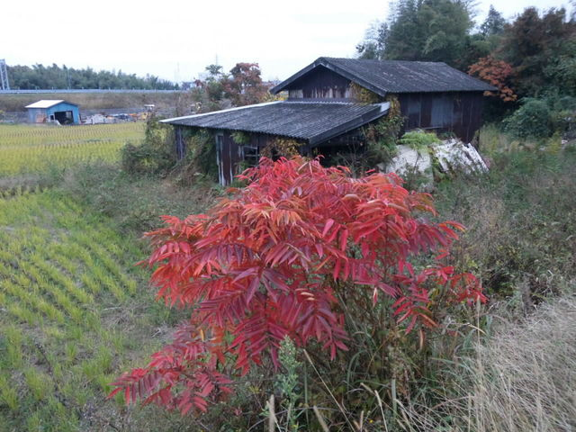 田んぼの中の紅葉