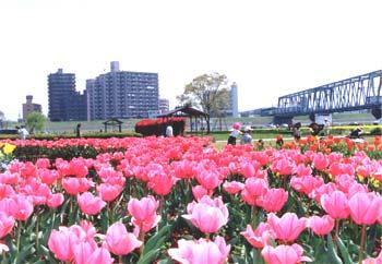 tulip_jpg.jpg