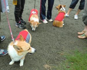 同じ赤い服のコーギーちゃん