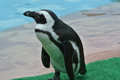 ペンギンさん