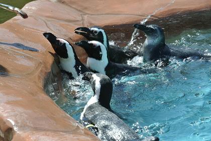 ペンギン餌やり