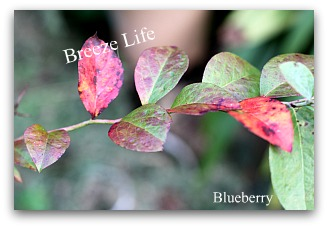 blueberryleaf.jpg
