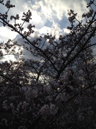 2012 04 10 桜