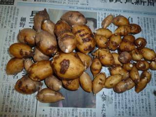 20121218001アピオス収穫
