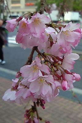 sakura_univ2.jpg