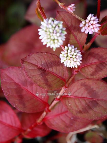 ツルヒメソバの紅葉