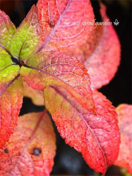 山紫陽花の紅葉に、みぞれがひとつぶ