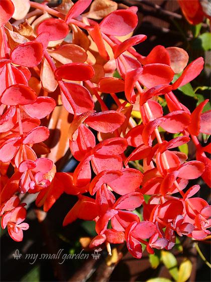 ミセバヤの紅葉