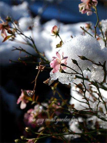 ミニバラ・レンゲローズと雪