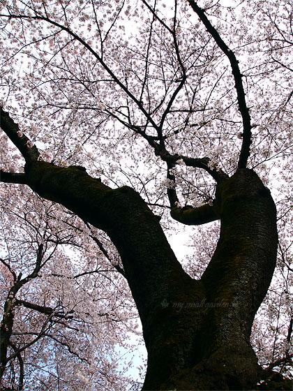 小金井公園 桜 2012