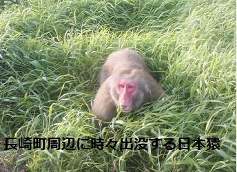 野生日本猿