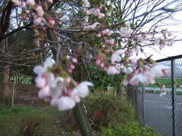 20120406桜
