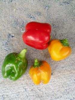 11-13収穫