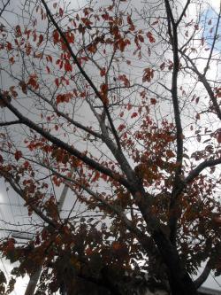 11-24桜