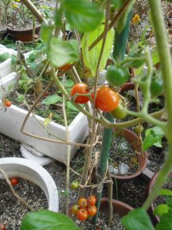 11-28プチトマト