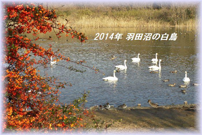 2014羽だ沼の白鳥