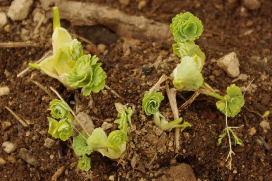 オダマキの芽