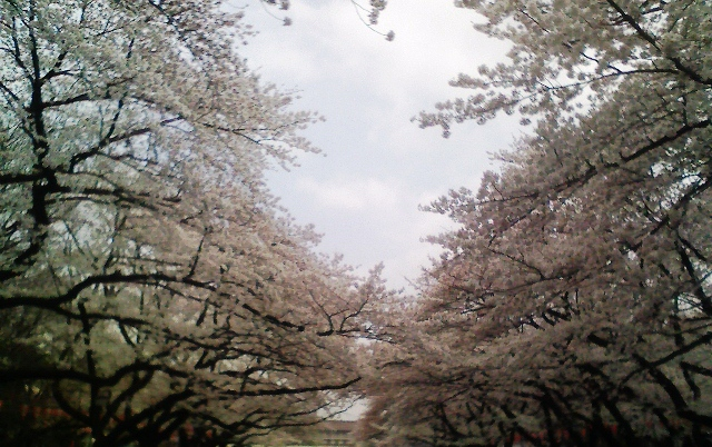 2012の桜(1)