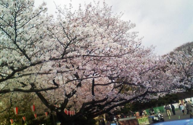 2012の桜(5)