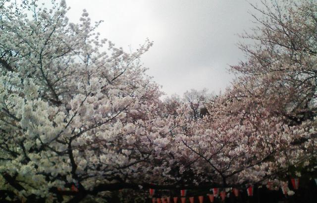 2012の桜(2)