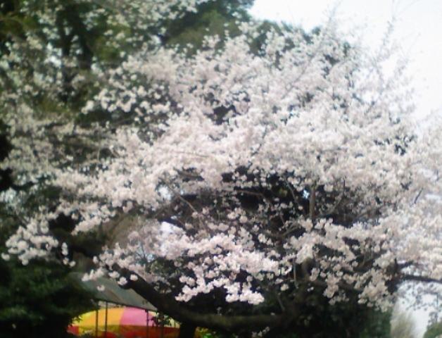 2012の桜(3)