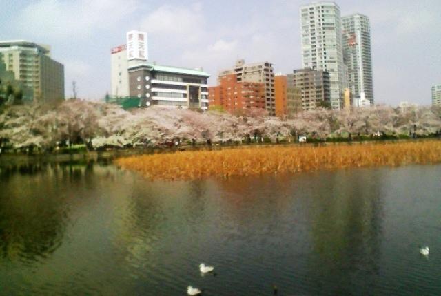 2012の桜(4) 不忍池