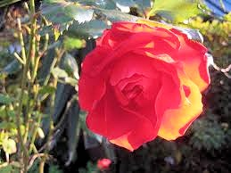 冬薔薇(ふゆそうび)