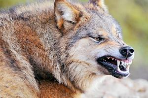 狼になりたい