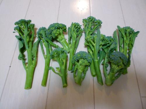 収穫ブロッコリー