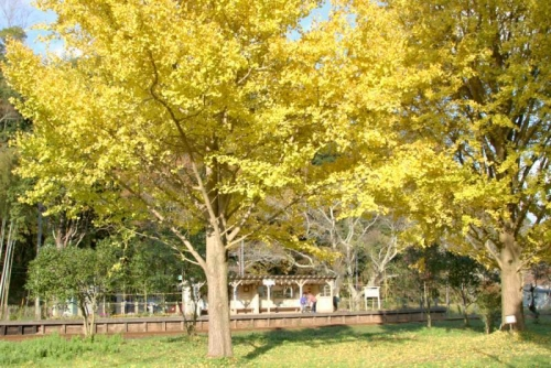2014。11.23 上総大久保駅 黄色い木漏れ日の駅で