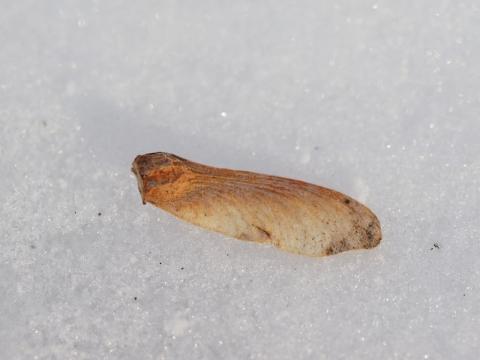 モミジ種子140119