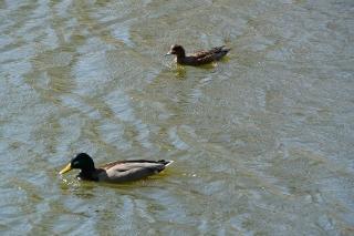 岡崎市 南公園 鴨