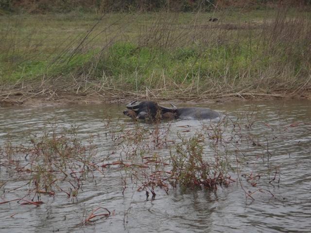 水牛は水浴び