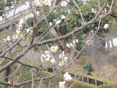 ワンコ達、梅を見にロング散歩