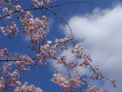 お花:ご近所のしだれ八重桜でお花見(汗)